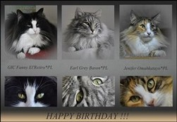 Happy Birthday in Cattery Omahkatayo*PL Norwegian Forest Cats